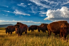 Bison feeding at sunset in steamboat springs Colorado