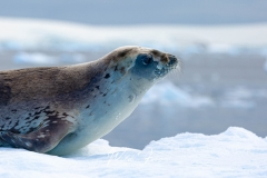 Young Crabeater Seal